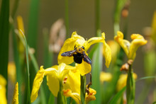 Carpenter Bee On Yellow Iris F...