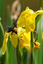 Carpenter Bee On Yellow Iris F...