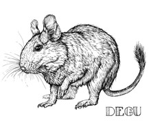 Sketch Of Degu Rodent Pet. Vec...