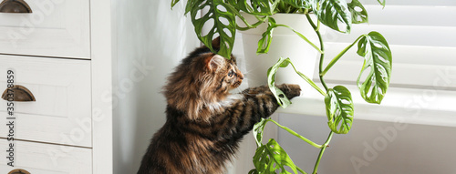 Fototapety, obrazy: Adorable cat playing with house plant at home. Banner design
