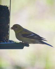 Female Goldfinch Perched At A ...