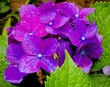 canvas print picture - Close-up Of Wet Purple Flowers Blooming In Garden