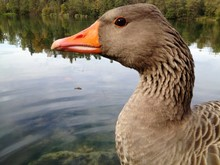 Close-up Of Greylag Goose Swimming On Lake