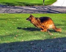 German Shepherd Running On Field