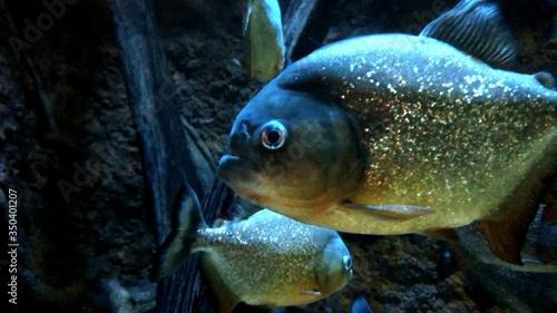 Obraz na plátně Close-up Of Piranhas Swimming Undersea
