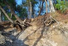 Exposed Tree Root Systems Due To Erosion And Weathering Along River Bank.