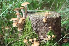 Wild Mushrooms Growing On Tree Stump