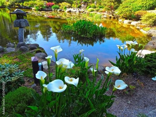 Fotografia Close-up White Calla Lilies In Park