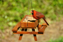 A Red Cardinal Eating Wild See...