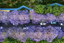 Aerial View Of Jacaranda Trees In Bloom In Kunming, Yunnan Capital In China