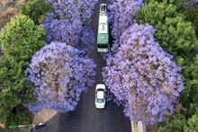 Aerial View Of Jacaranda Trees...
