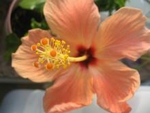 Close-up Of Orange Hibiscus