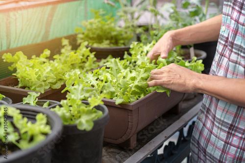 Fotografia Asian man gardener checking organic salad plant in plastic plant pot, Vegetable gardening at home, Selective focus, farming and growing your own food concept