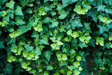 Close-up Of Ivy Growing Outdoors