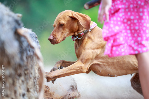 Portrait of a young Magyar Viszlar dog Fototapete