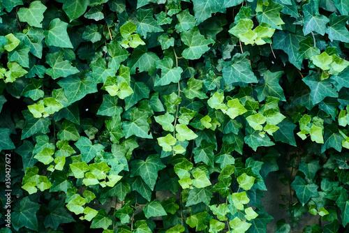 Fotografia Close-up Of Ivy Growing Outdoors