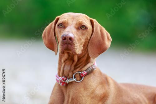 Foto Portrait of a young Magyar Viszlar dog