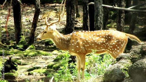 Photo Axis Deer By Trees In Forest