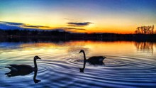 View Of Swans Swimming In Lake...