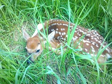 Elevated View Of Fawn Lying In Grass