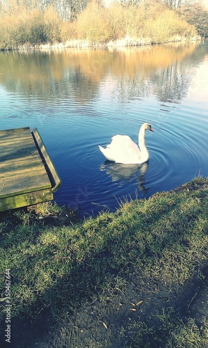 Fotografie, Tablou High Angle View Of Swan Swimming In Lake