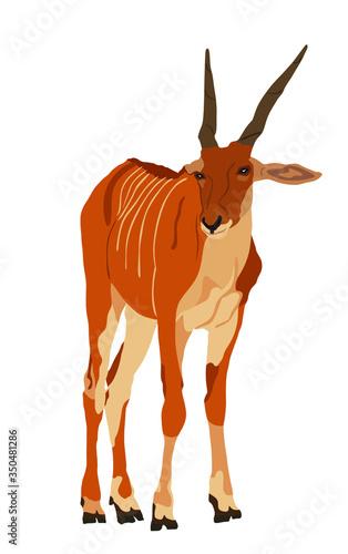Foto Wild female antelope Common eland, or Southern eland, or Eland antelope (Taurotragus oryx) portrait in natural habitat