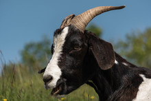 A Black And White Goat From Side On View With Impressive Large Horns.  Goat With Smiling Expression Looks Happy In The Countryside.