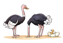 Funny Family Of Ostriches Isol...