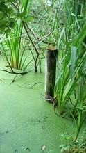 Duckweed On Water