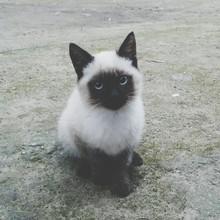 Portrait Of Siamese Cat Sittin...