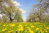 Fototapeta Kwiaty - Wiosenny sad. Trawa , kwiaty mleczu i kwitnące jabłonie. Wiosenne tło.