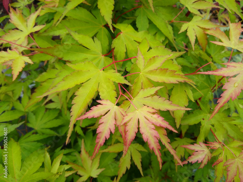 Acer palmatum 'Sango-Kaku' Canvas Print