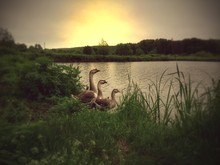 Graylag Geese On Riverbank Against Sky At Sunset