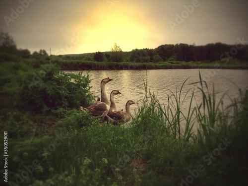 Graylag Geese On Riverbank Against Sky At Sunset Fototapeta