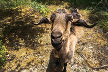 Cute Goat Looking In Camera, Standing Between Trees On Farm. Funny Animal Portrait.
