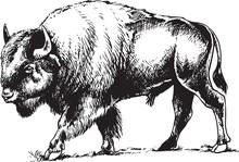 Bull Bison Or Buffalo