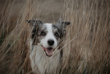 Merle Border Collie Smiling In...