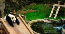 Giant Panda Resting Idle On Pl...