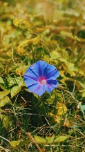 High Angle View Of Blue Morning Glory Blooming Outdoors