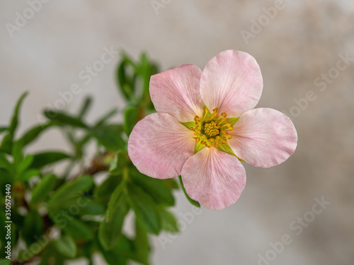 Fotografija Pink Shrubby Cinquefoil flower, Latin name (Potentilla fruticose)