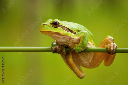 Photo Struggling european tree frog, hyla arborea, holding on grass blade in wetland