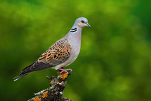 Alert European Turtle Dove, Streptopelia Turtur, Standing On Branch And Stretching Neck In Summer Forest With Blurred Green Background. Wild Bird Perched In Treetop From Side View With Copy Space