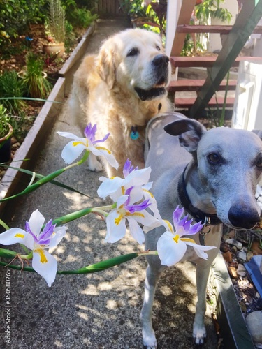 Tablou Canvas Whippet And Golden Retriever In Backyard