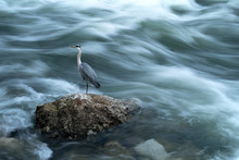 Lonely Heron, Standing On The Top Of The Rock In The Strong, Foamy River Current, Catching Fish. Photographed At Shores Of Sava River In Zagreb, Croatia