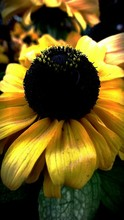 Close-up Of Black-eyed Susan Growing On Plant