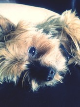 Close-up Portrait Of Yorkshire Terrier Resting On Sofa
