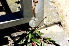 High Angle View Of Dandelion Growing Near Gate