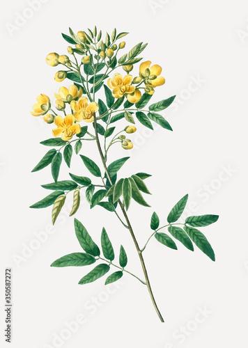 Fotografia Argentine senna plant