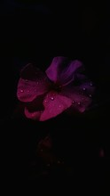 High Angle View Of Water Drops On Pink Periwinkle Against Black Background