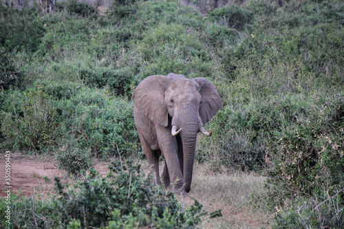 Fototapety, obrazy: Elefante nel suo habitat naturale,  Savana, Kenya